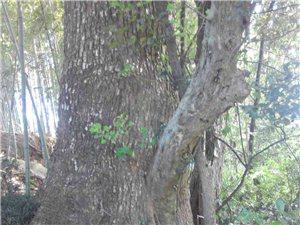 你说怪不怪,腊子树寄生在一棵细叶樟树上