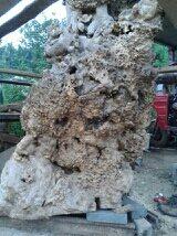 天然形成木根
