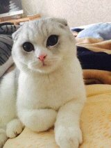 萌萌哒的折耳猫