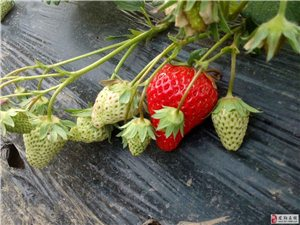 奶油草莓!