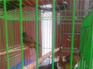 画眉鸟出售