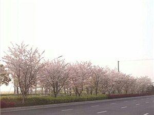 赏花正当�r。