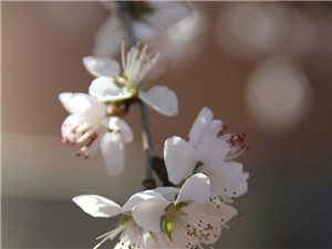 桃花粉梨花白