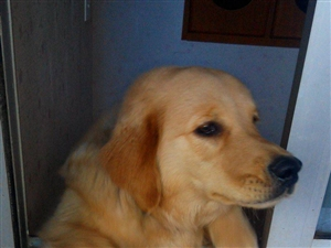 出售金毛犬一只~~~~