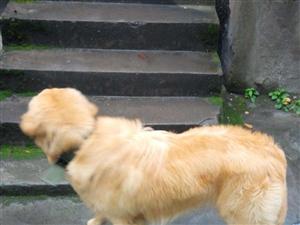 出售纯种金毛犬一只