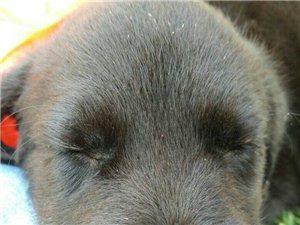 拉布拉多狗出售