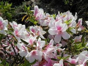 万紫千红杜鹃花