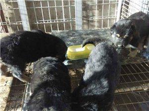 有刚出月德国小狗出售,纯正血统,警觉灵敏,忠于主人,护院,寻猎,