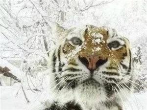 老虎不�l威也就是一只大一�c的�[喵喵]