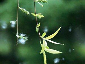 不是柳絮,是榆四脉绵蚜