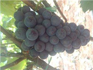 新鲜无公害黑提葡萄,