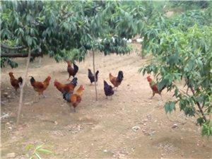 么山散养鸡开售了(爆照)