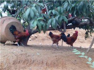 么山散养鸡出售(附照片)