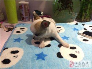 小型犬吉娃娃低价出售