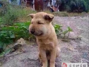 小黄狗被蜂螫变「包子脸」心疼又好笑