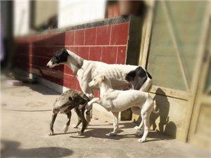 出售格力幼犬,品种优良,猎兔好帮手