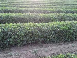 新茶上市啦,绿茶,红茶
