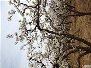 忽如一夜春风来,千树万树梨花开