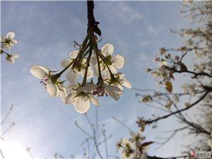 梨花千树雪