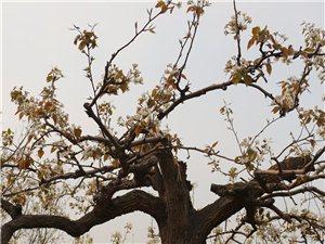 暴风雨后的梨花,依然顽强的绽放。值得我们学习