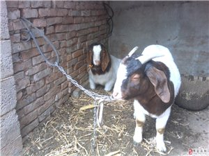 出售波爾山羊種公羊