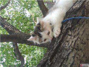 出售成年波斯猫串