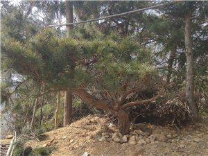 自然奇觀林木