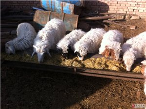 出售纯放养羯羊肉,纯羊草料喂养的羊羔肉