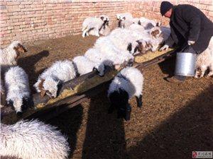 出售平川滩羊羔肉
