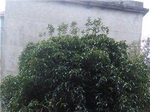出售自家15年碗口粗桂花树(八月桂)