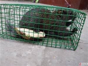 喂了两个月的松鼠出售260元