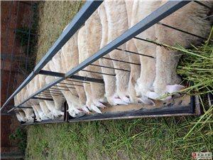 羊养殖加盟,