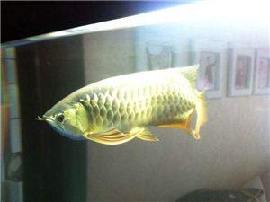 卖鱼缸赠金龙鱼
