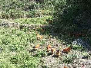 正宗山地放养鸡出售