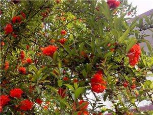 漂亮的石榴花树,。