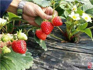 来宝箴塞摘草莓