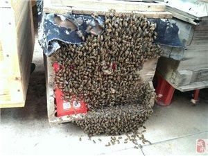 出售本地中蜂
