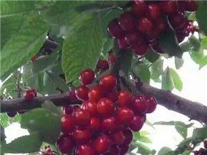 批发出售各种新鲜樱桃