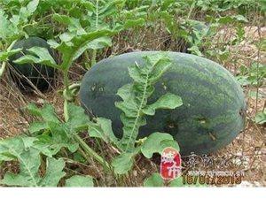 大量批發西瓜