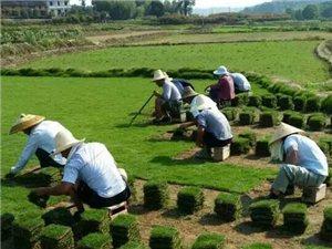 海南绿化草坪销售