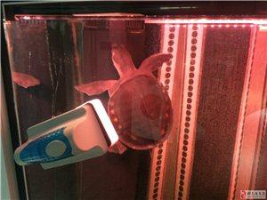 出售猪鼻龟一只