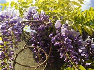 紫藤:邂逅金沙网站最后的春天