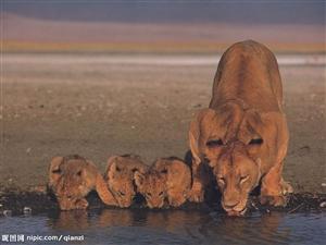 为了腾地方,丹麦动物园再处死4只狮子