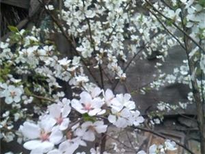 后院的樱桃花开啦!