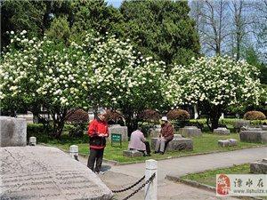午朝门公园的绣球花盛开了