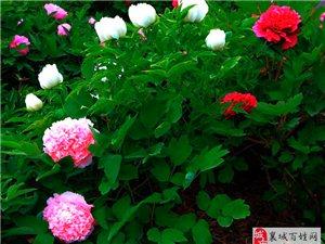 牡丹园里拍牡丹————美高梅平台县人民医院牡丹园