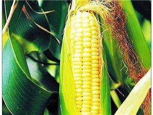玉米,俗�Q先米