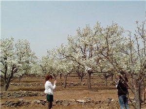 凌源、喀左接壤处梨花节