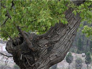 汝阳县王坪乡的古树