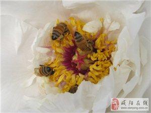 蜜蜂采花戏牡丹